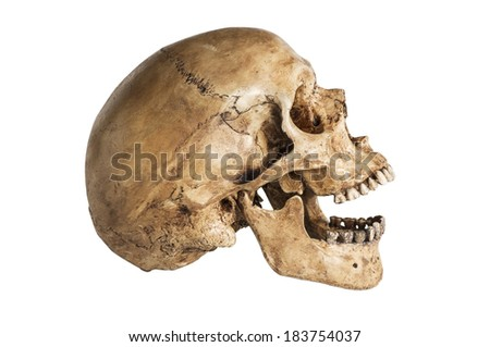 side of skull model in open the mouth pose isolated on white background - stock photo