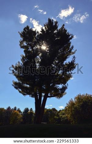 silhouette of cedar - stock photo