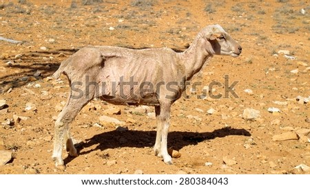 skinny poor sheep, Outback, Australia - stock photo