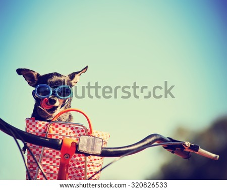 small dog in sunglasses or goggles sitting in bicycle basket licking his nose toned with a retro vintage instagram filter app or action effect - stock photo