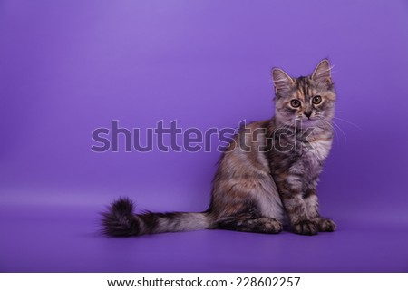 Small Siberian kitten on lilac violet background. Cat sitting. - stock photo