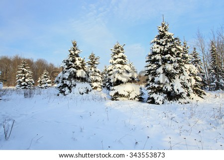 snow covered small fir growing in the woods. Blue sky. - stock photo