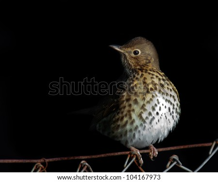 Song Thrush sitting on fence. (Turdus philomelos) - stock photo