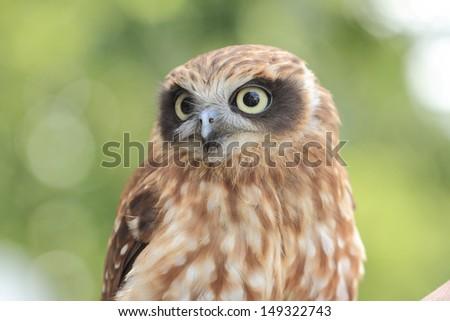 Southern Boobook owl (Ninox novaeseelandiae), also called the Tasmanian spotted owl, is a small brown owl found throughout New Zealand, Tasmania, across most of mainland Australia  - stock photo