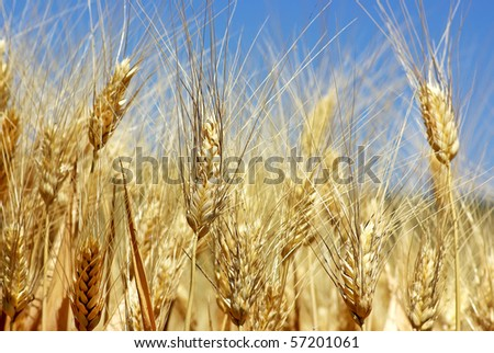 Spikes in wheat field - stock photo