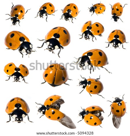 7 spot ladybird in different positions in front of a white background - stock photo