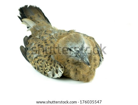 Spotted dove a sick  white background - stock photo