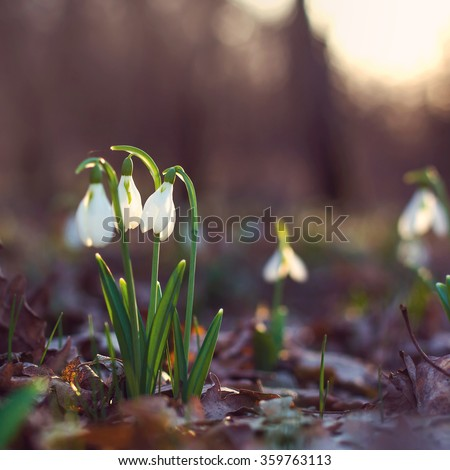 spring of the first snowdrops in the forest blurred background sunlight - stock photo