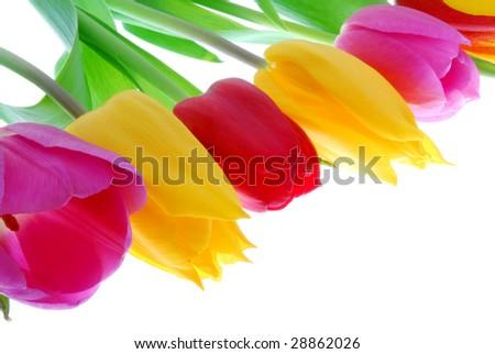 5 star Tulips - stock photo