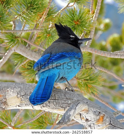steller's jay at emerald lake  in    rocky mountain national park, colorado   - stock photo