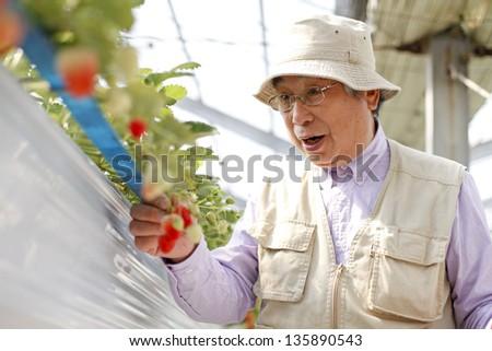 strawberry hunting - stock photo