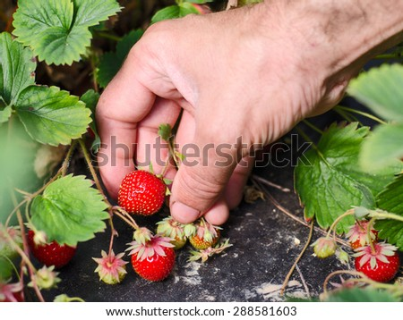 Strawberry Picking - stock photo
