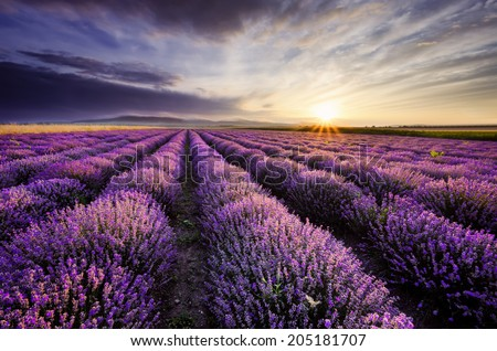 Sunrise and dramatic clouds over Lavender Field - stock photo