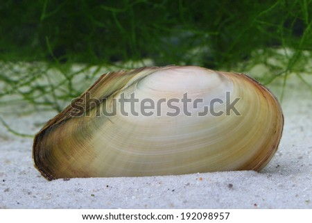Swan mussel (Anodonta cygnea) on the on ponds bottom - stock photo