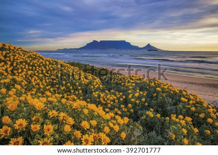 Table Mountain. During Spring flowers can be seen along the coastline Cape Town, South Africa. Color photo.  - stock photo