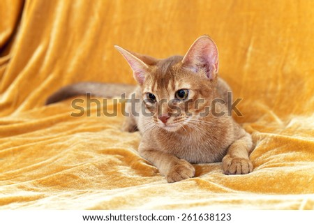 the adult Abyssinian cat photographed by a close up - stock photo