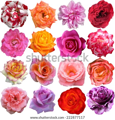 The Big Set of roses blooms  - stock photo