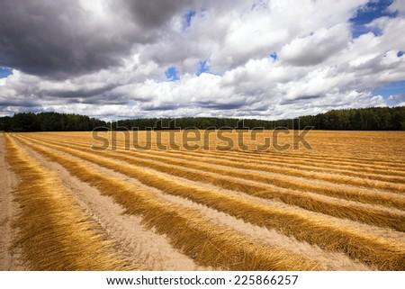 the flax collected in ranks during the harvest company - stock photo