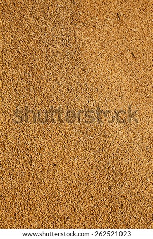 the grains of wheat collected in heaps during harvesting - stock photo