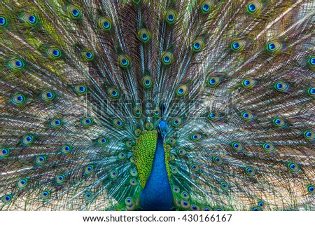 The image of a peacock's tail was beating. - stock photo