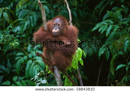 . The Sad. / Pongo pygmaeus wurmbii - southwest populations. The orangutans are the only exclusively Asian living genus of great ape. - stock photo