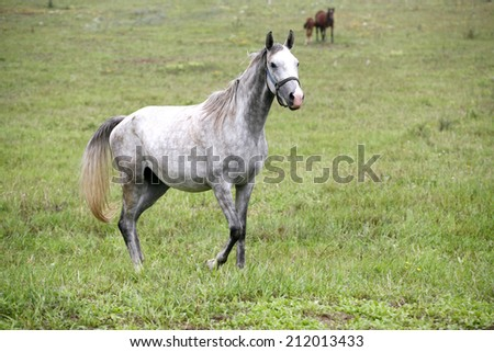 Thoroughbred arabian horse grazing in meadow. 	Gray horse standing alone in pasture - stock photo