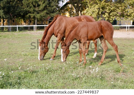 Thoroughbred mare and foal grazing in pasture following mother - stock photo