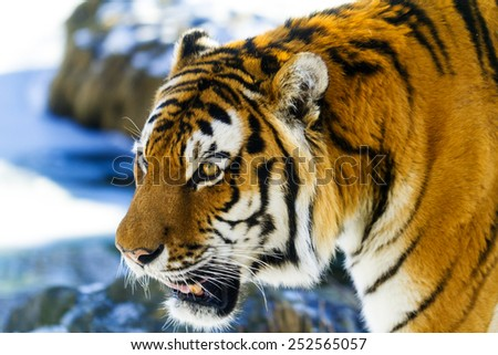 Tiger  close up - stock photo