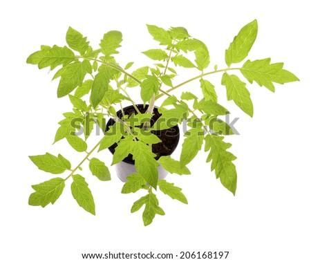 tomato seedlings isolated on white background  - stock photo