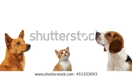 Tow dogs and cat together looking up on isolated white background                                - stock photo