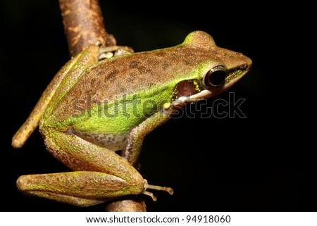 Tree frog on a tree branch - stock photo