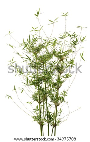 Tropical bamboo with leaves - stock photo