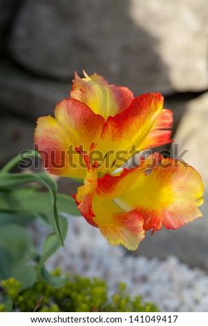 tulip in the garden - stock photo