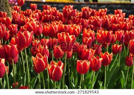 Tulips in spring  - stock photo
