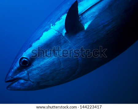 Tuna Close up Underwater Photo - stock photo