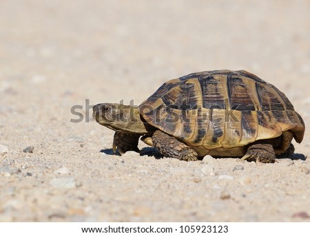 turtle on sand, testudo hermanni, Hermann's Tortoise - stock photo