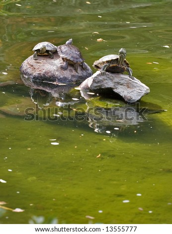 Turtles have a rest on stones in the middle of lake in the Japanese park, in ????????, the USA - stock photo