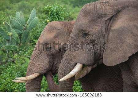 Two African elephants standing next to each other - stock photo