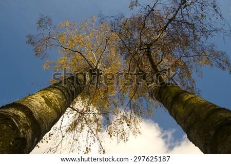 Two birch trees next to eachother - stock photo