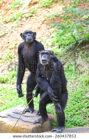 two chimpanzee - stock photo