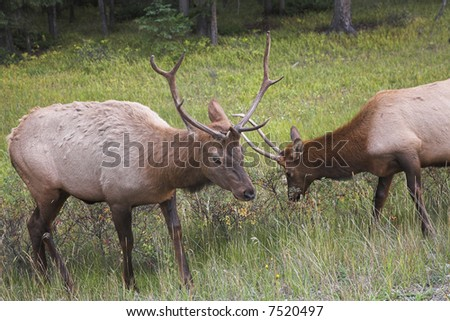 Two deers struggle on a wood marge - stock photo