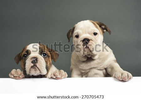Two English bulldog puppies with paws on a message board . - stock photo