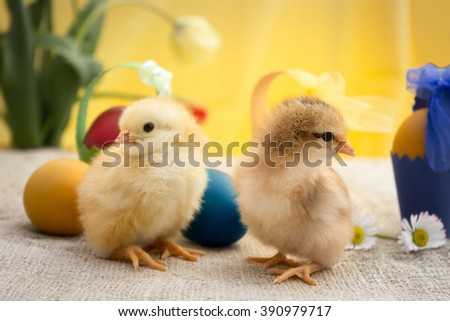two little Easter chicken, Easter Chicken, Easter Eggs, Easter card - stock photo