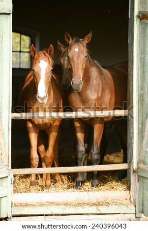 Two thoroughbred foals at stable door. Horses standing in the barn.  - stock photo