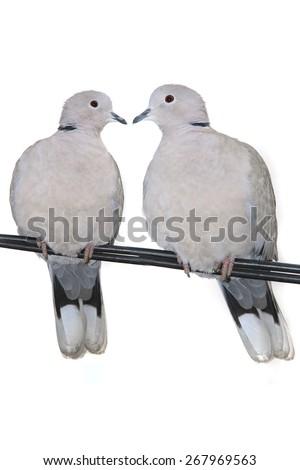 two turtle Dove ( streptopelia turtur ) on a white background - stock photo
