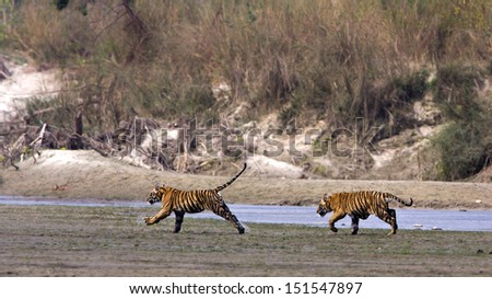 Two young Wild Tigers running in riverside in Nepal, Specie Panthera tigris,Bardia national park  - stock photo