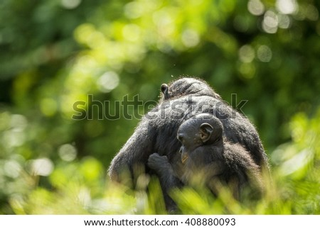 ?ub of a Bonobo on a back at Mother  in natural habitat. Green natural background.  The Bonobo ( Pan paniscus), earlier being called  the pygmy chimpanzee. Democratic Republic of Congo. Africa       - stock photo