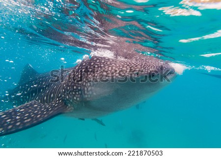 Underwater shoot of a gigantic whale sharks ( Rhincodon typus) feeding plankton on the surface of the water. These sharks have no teeth and are filter feeders. - stock photo