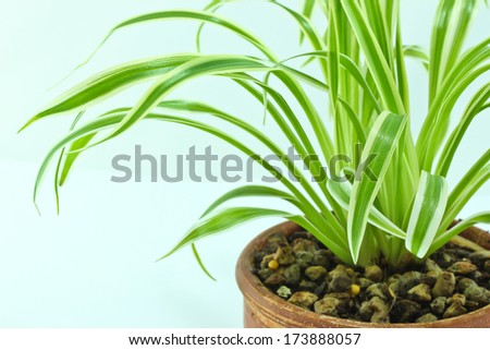 Variegated plant - stock photo
