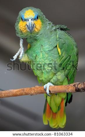 Venezuela Amazon parrot - stock photo